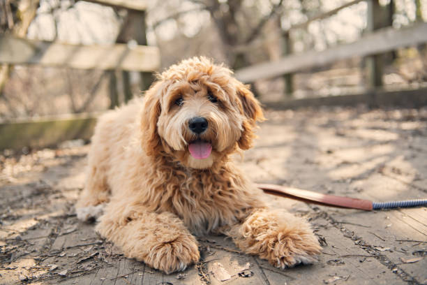 Golden Labradoodle dog outside in fall season A Golden Labradoodle dog outside in fall season poodle stock pictures, royalty-free photos & images