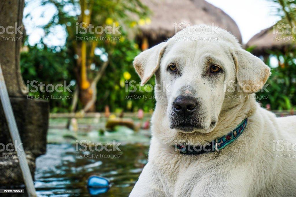 Golden Labrador Retriever Close up stock photo