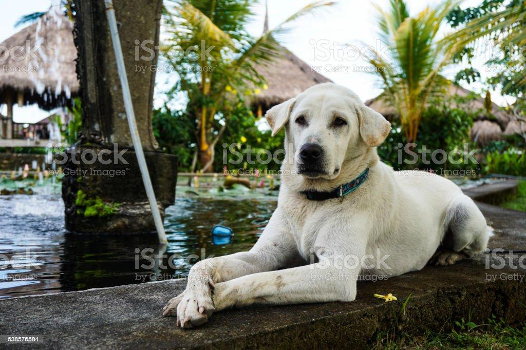 Golden Labrador Retriever Lying Next To Pond stock photo