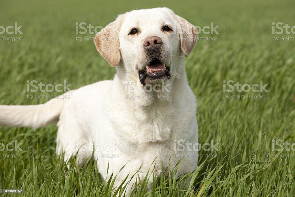 golden labrador retriever royalty-free stock photo
