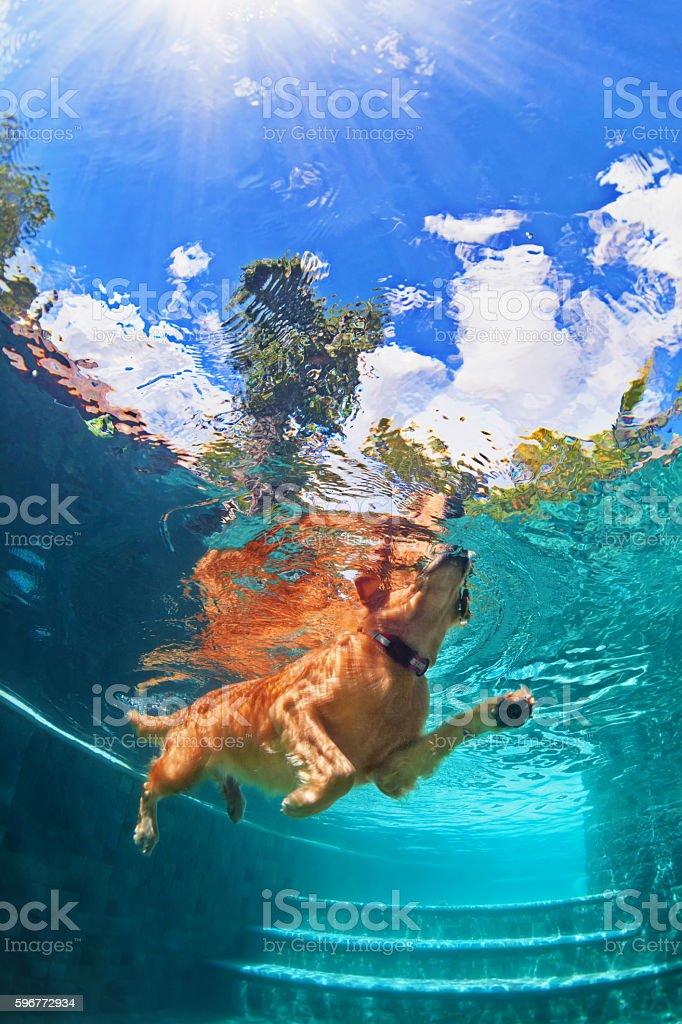 Golden labrador retriever puppy in swimming pool. Underwater funny photo stock photo
