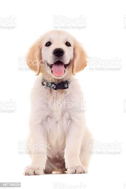 Golden labrador retriever puppy picture id481796029?b=1&k=6&m=481796029&s=612x612&h=pqrh2sawetyzupcqcikifpckupnl11olq lamo7k4mi=