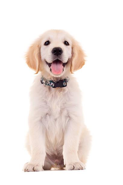golden labrador retriever welpe - glückliche welpen stock-fotos und bilder