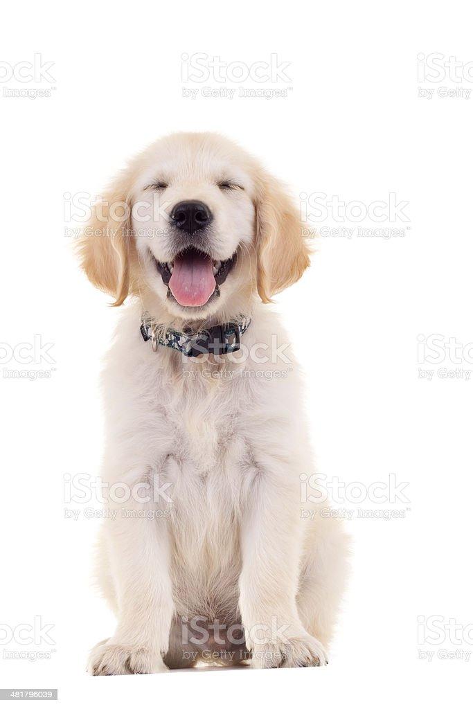 golden labrador retriever puppy stock photo