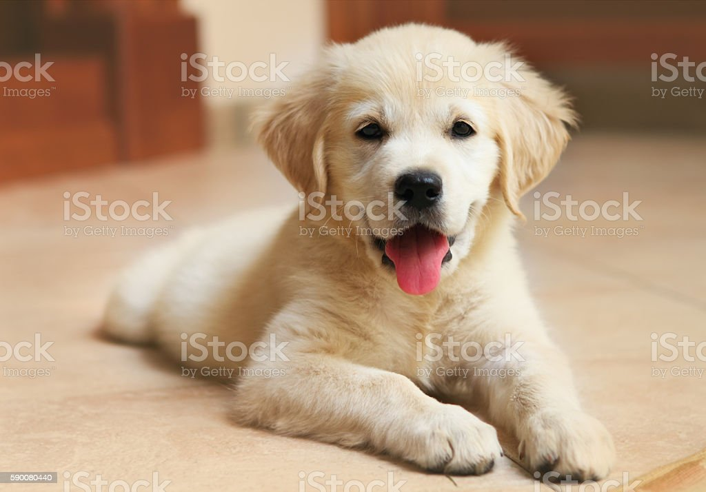 Golden Labrador retriever puppy stock photo