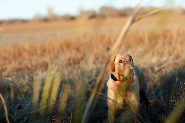 Golden labrador retriever waiting for a command Golden labrador retriever waiting for a command to retrieve shot game on a hunting trip standing outside a brush blind bird hunting stock pictures, royalty-free photos & images