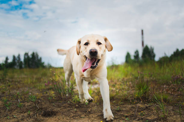 Golden Labrador walking in the spring park, natural light, in cloudy day Portrait of golden labrador running forward in camera direction on a field in the summer park, looking at camera. Green grass and trees background retriever stock pictures, royalty-free photos & images