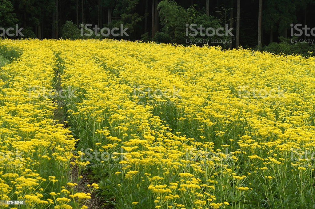 Golden lace stock photo