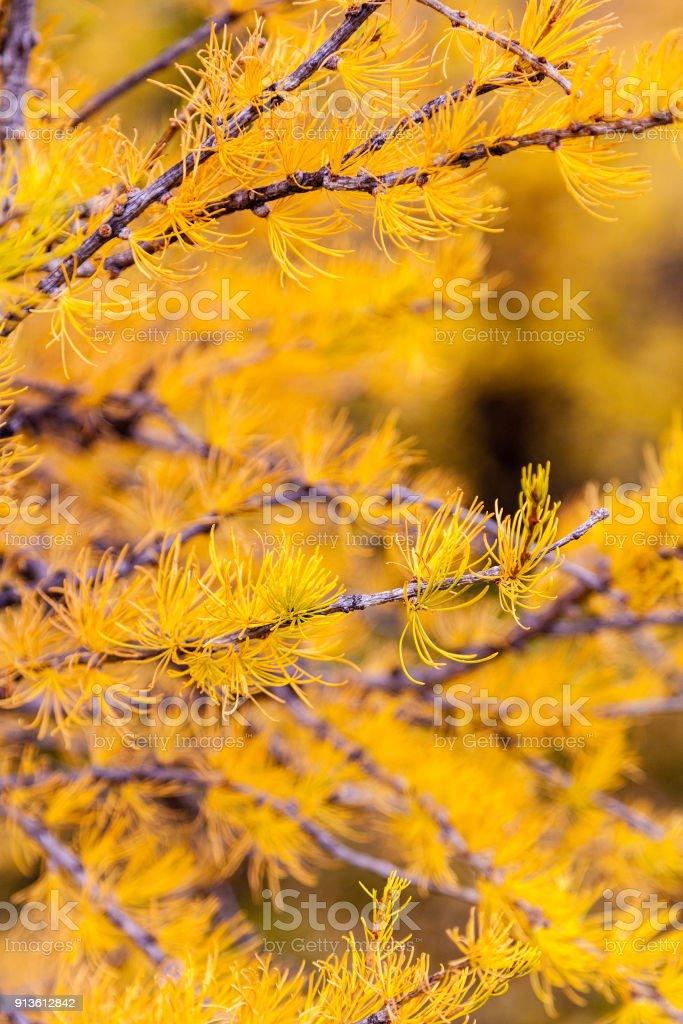 Árbol de alerce dorado en el Parque nacional Banff - foto de stock