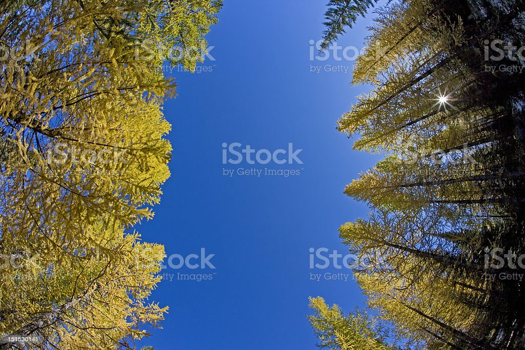 Golden Larches and Sun stock photo