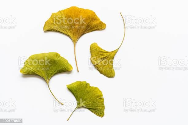 Golden leaves of ginkgo ginkgo leaves picture id1206775852?b=1&k=6&m=1206775852&s=612x612&h=a 9fo dvxdpuyzqa7mqe oubkgq78wcfc345jpcoy5c=