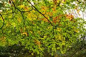 Golden leaves on autumn tree, Moreton in Marsh Cotswolds England UK