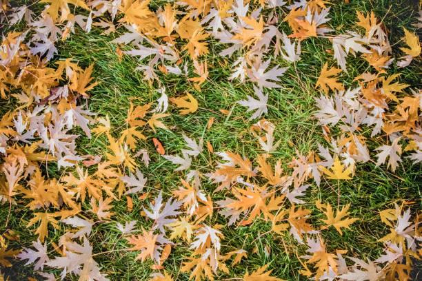 golden leaves on grass stock photo