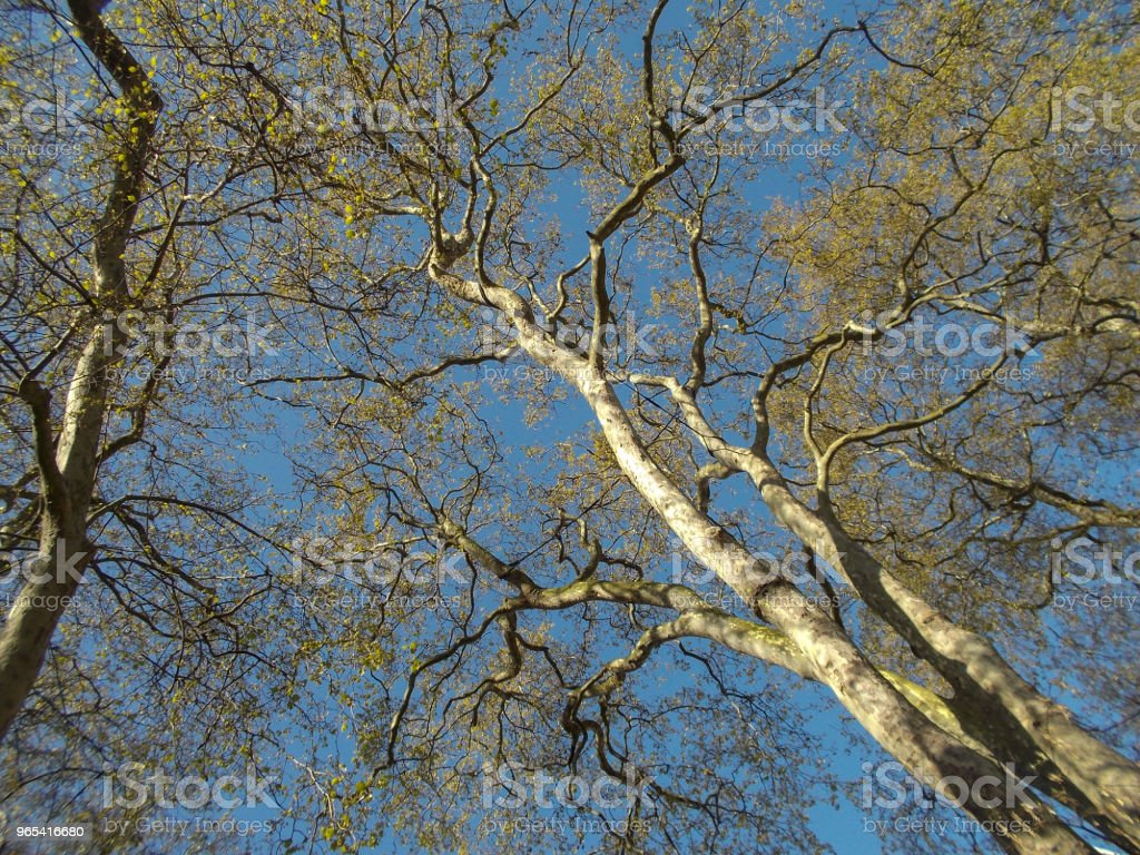 Golden leaves on trees zbiór zdjęć royalty-free