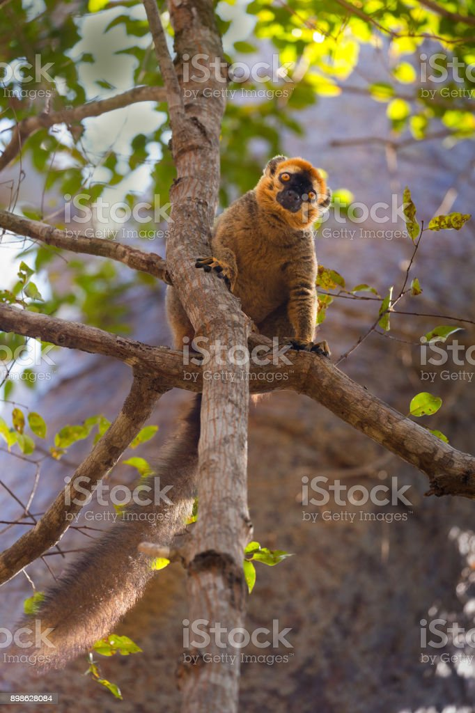 Golden Lemur stock photo