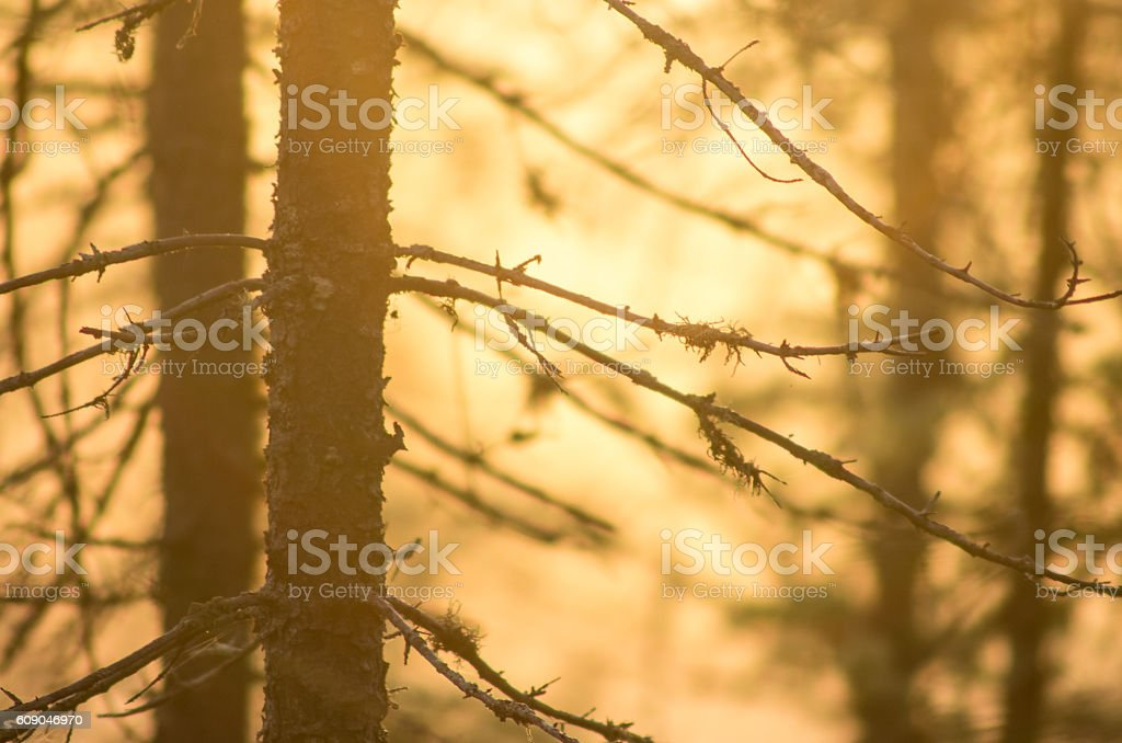Golden light through trees stock photo