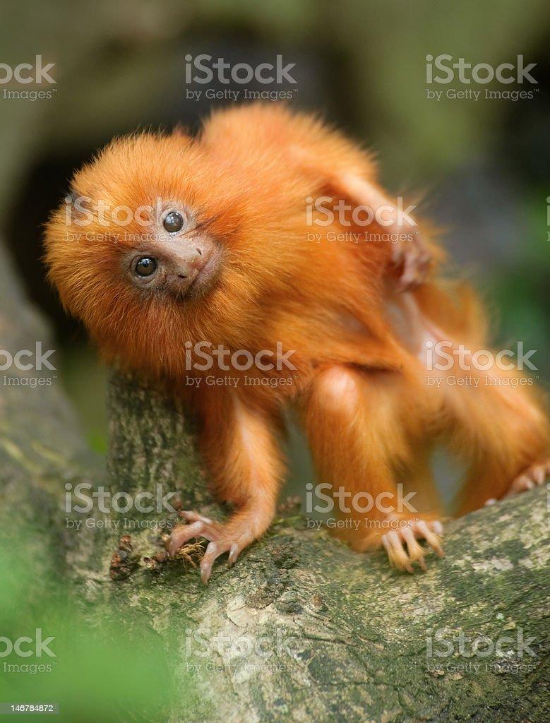 Goldener Löwe Tamarin baby – Foto