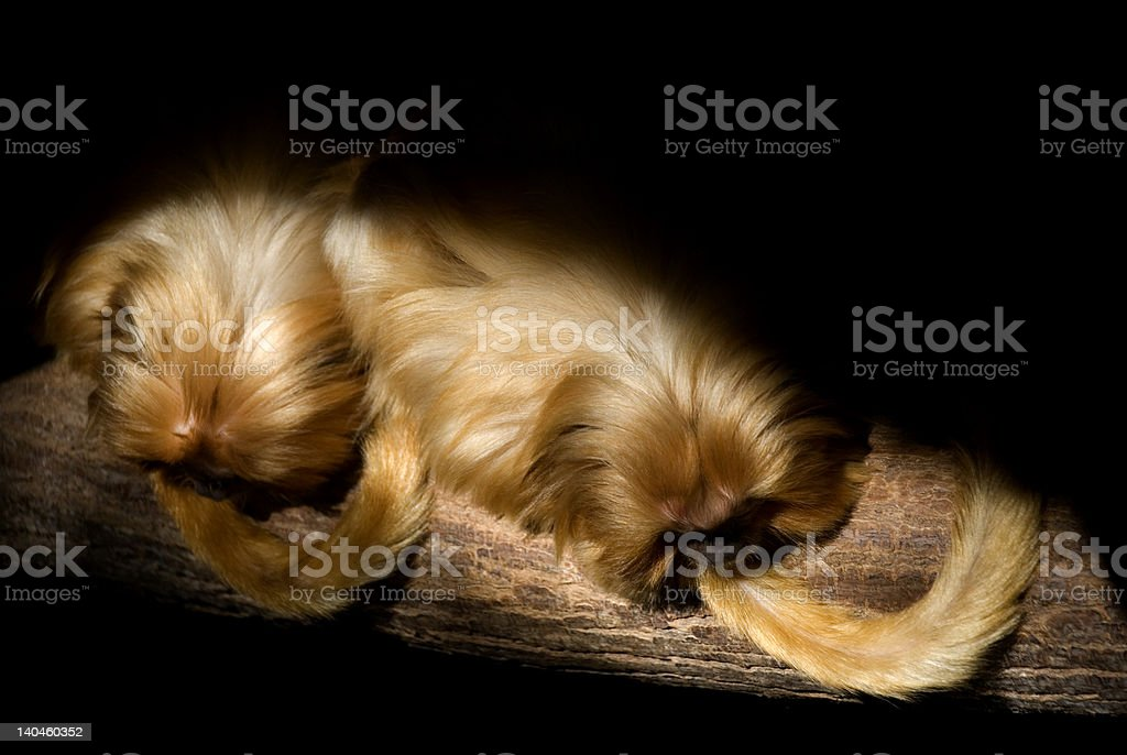 Golden lion tamarin - down left stock photo