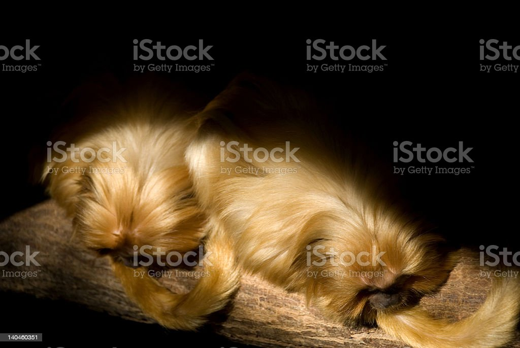 Golden lion tamarin - down right stock photo