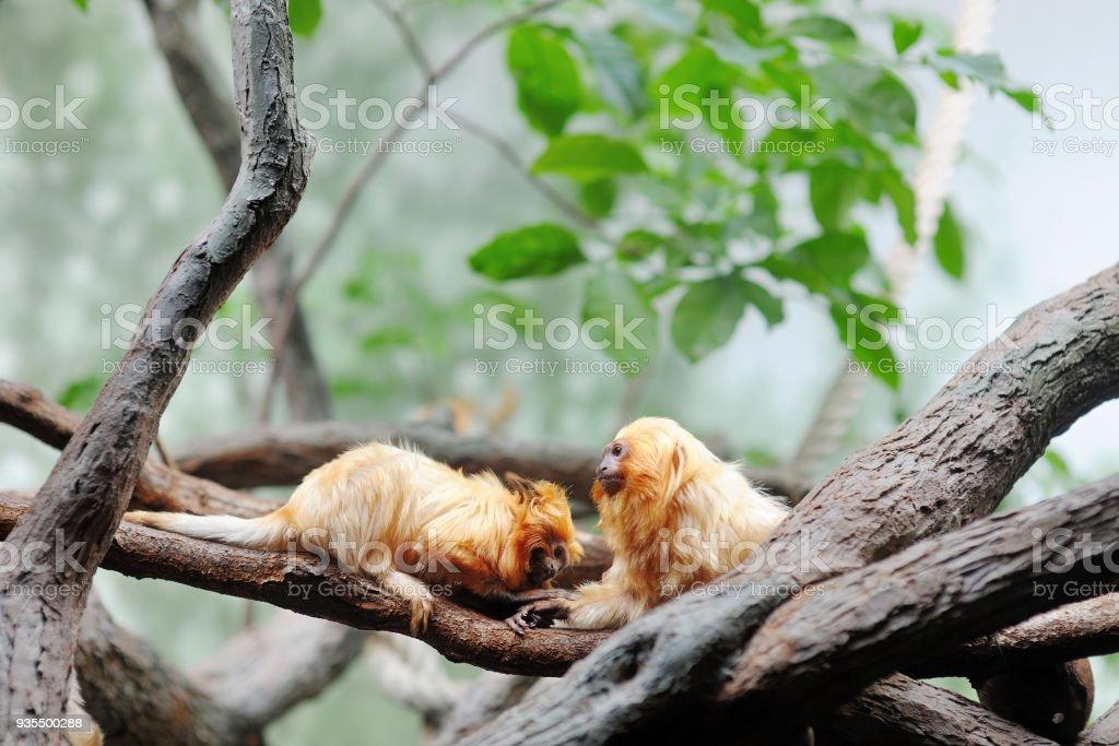 Golden lion tamarin leontopithecus rosalia stock photo