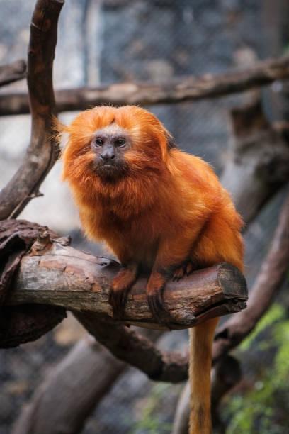 Golden lion tamarin Monkey - golden Marmoset Golden lion tamarin Monkey - golden Marmoset - marmoset stock pictures, royalty-free photos & images