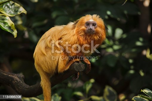 Golden lion tamarin (Leontopithecus rosalia), also known as the golden marmoset.