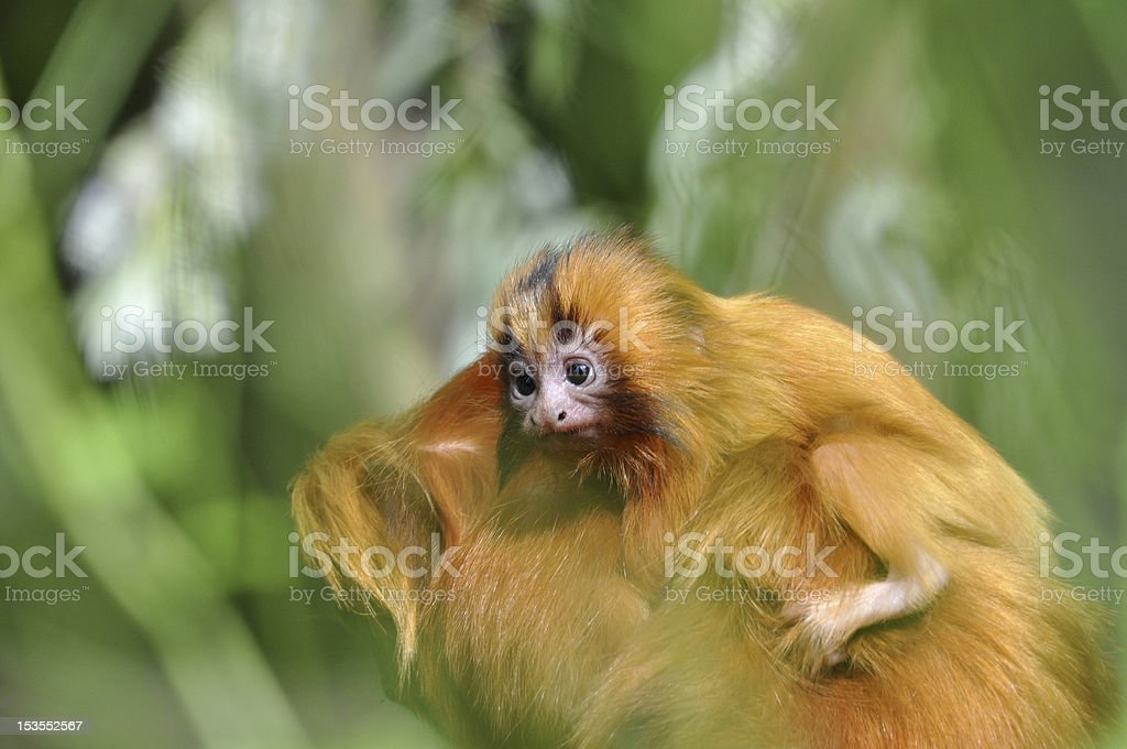 Golden lion tamarin stock photo