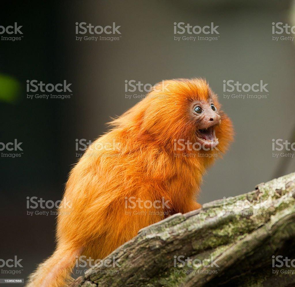 golden lion tamarin – Foto