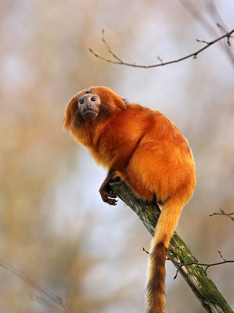 Golden lion tamarin picture id516681864?b=1&k=6&m=516681864&s=612x612&w=0&h=3mlq eyg7m2gfujnsjousry5ag8swrv7pcpbo4ngvb4=