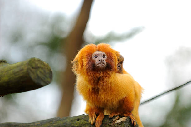 tamarin-lion doré - tamarin photos et images de collection