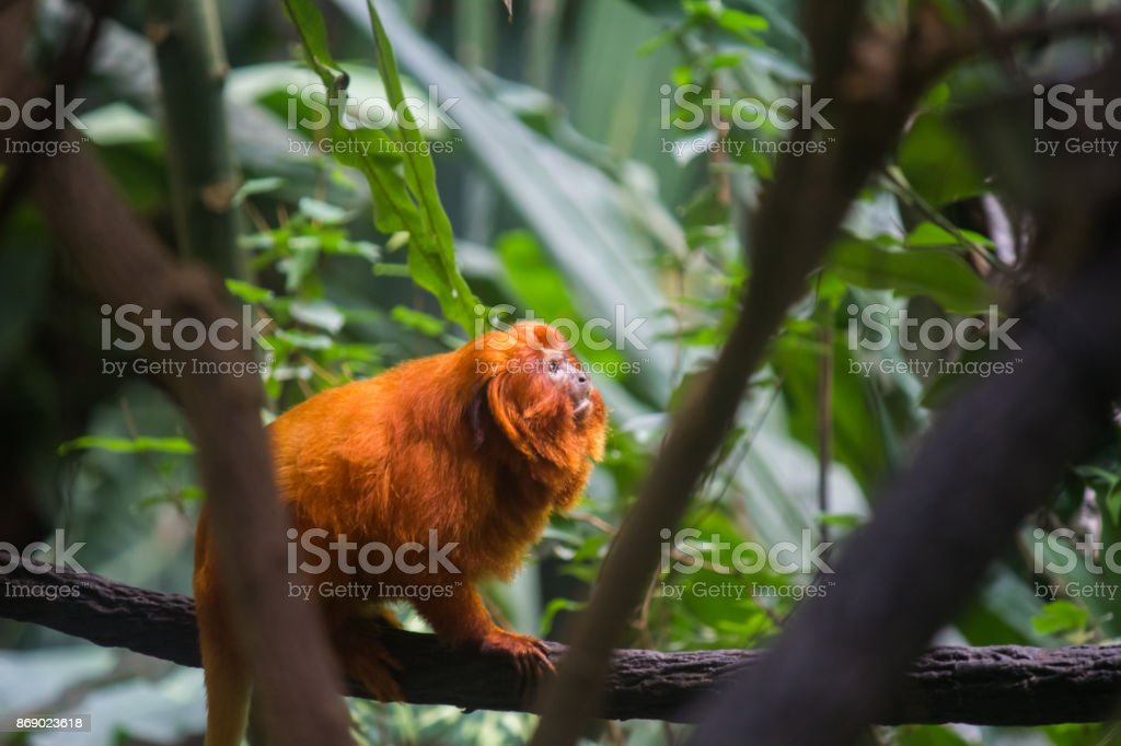 Golden lion tamarins (Mico leao dourado) are  a specie of monkeys native to the Atlantic Forest of Brazil royalty-free stock photo