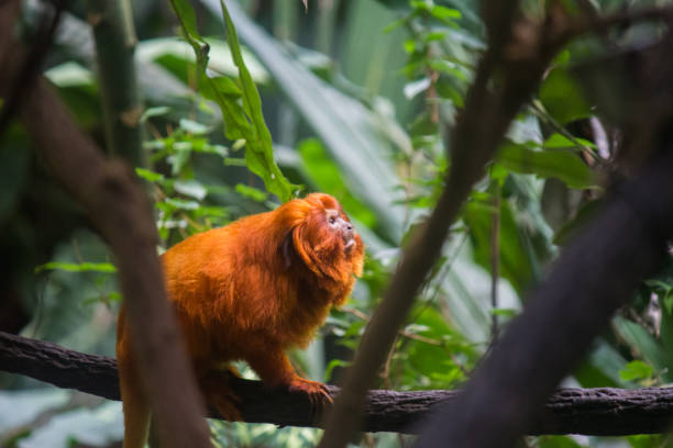 Golden lion tamarins (Mico leao dourado) are  a specie of monkeys native to the Atlantic Forest of Brazil stock photo