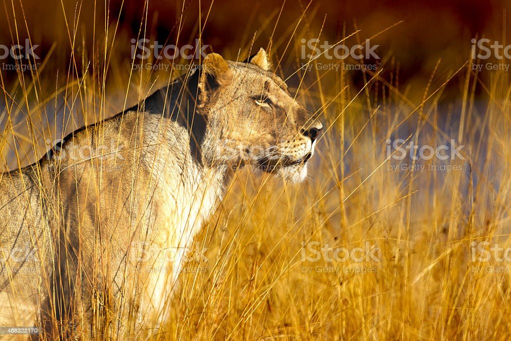Golden Lioness stock photo