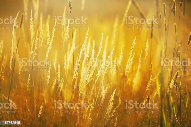 Photo of Golden lit wild grass