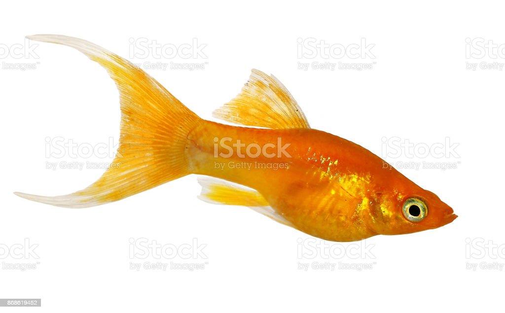 Golden Lyre Tail Molly Poecilia latipinna aquarium fish stock photo