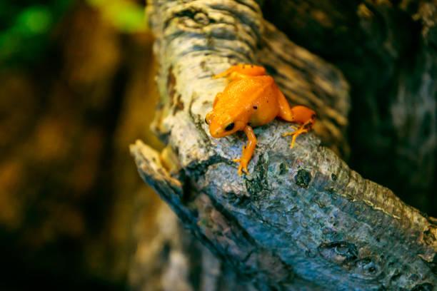 Golden Mantella Frog stock photo