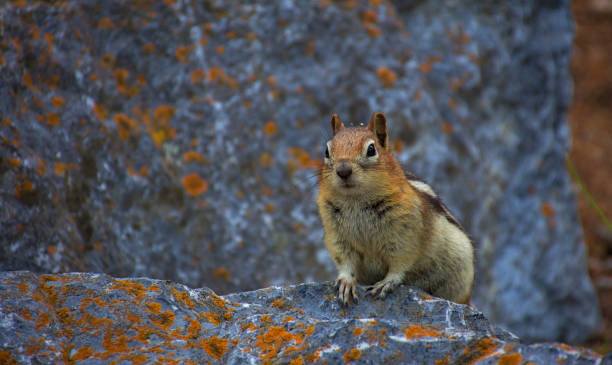 Golden mantled ground squirrel. Rocky mountain canada ( Canadian Rockies ). Near the city of Calgary. Portrait, fine art. Jasper and Banff National Park, Alberta, Canada: August 2, 2018 stock photo