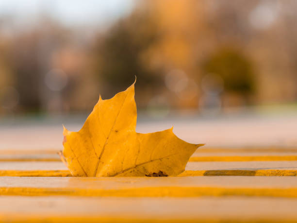 Golden maple leave in a wooden bench stock photo