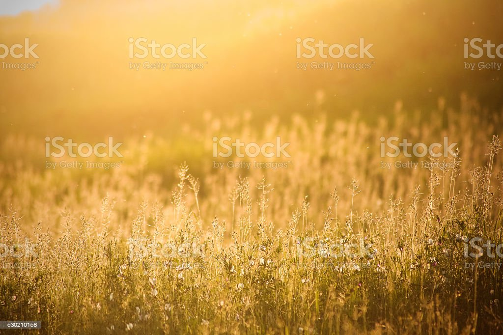 Golden meadow and silhouettes of grass at sunset stock photo