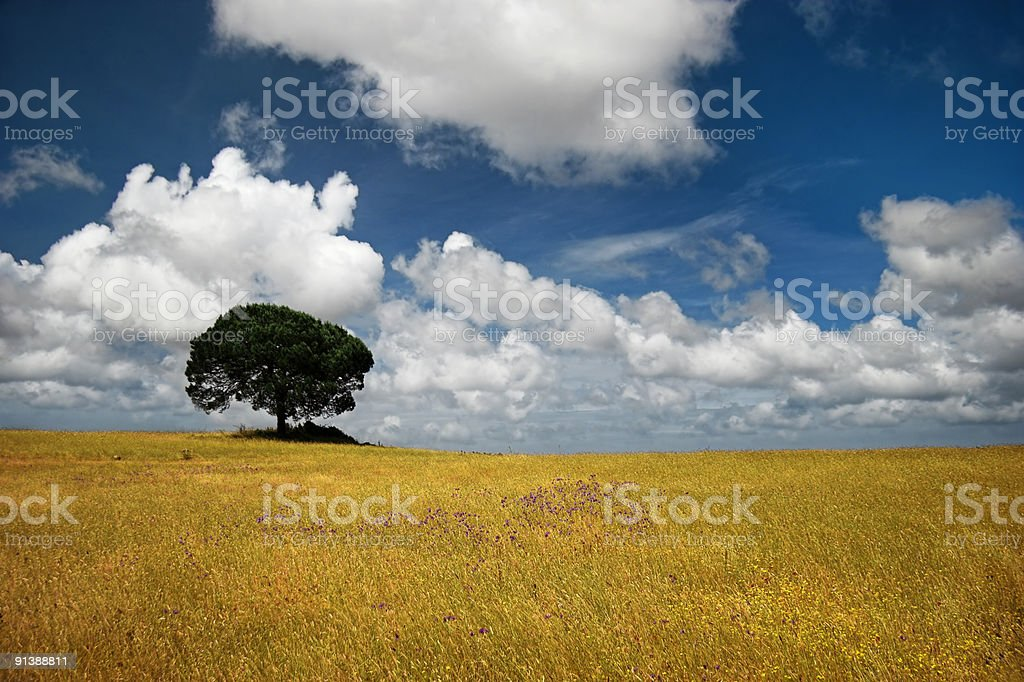 Golden meadow royalty-free stock photo
