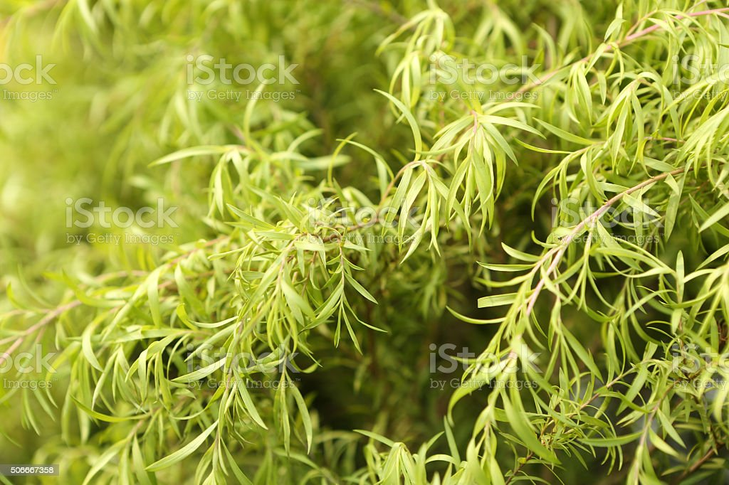 Golden Melaleuca, Melaleuca Bracteata Gold stock photo