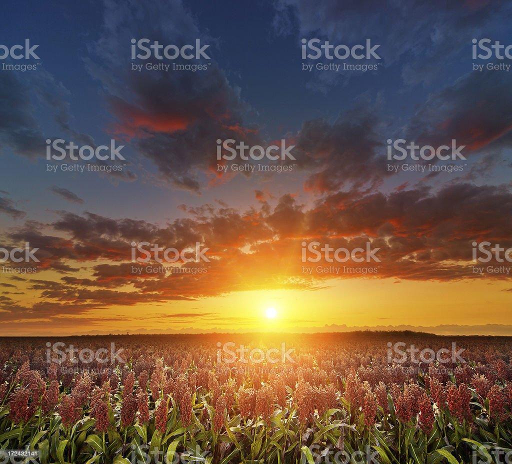 Golden Milo Field stock photo