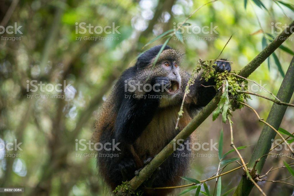 Golden monkey feeding stock photo