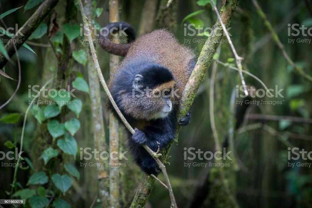 Golden monkey in Volcanoes National Park stock photo