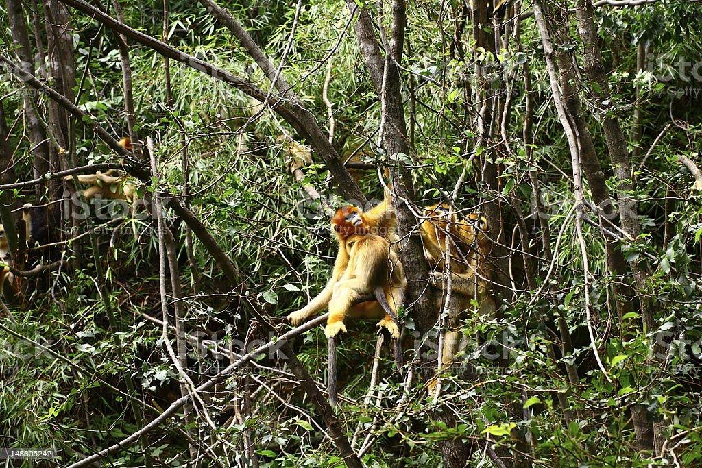 Golden Monkey sleep on the tree stock photo