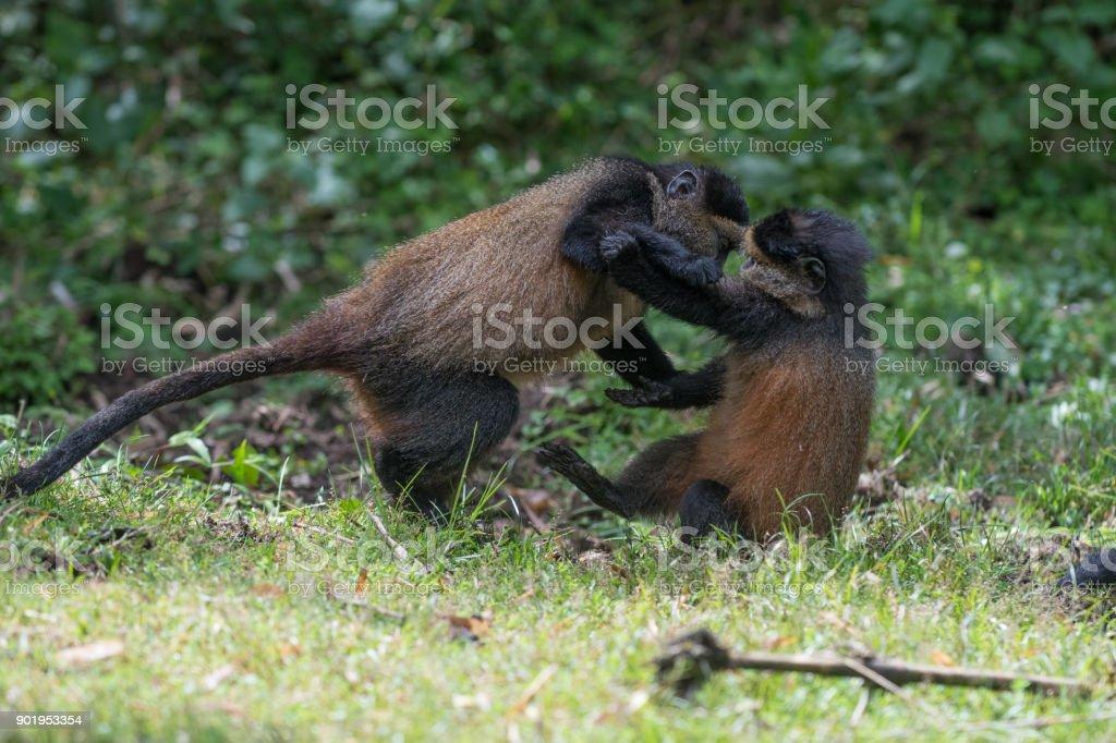 Golden monkeys playing stock photo