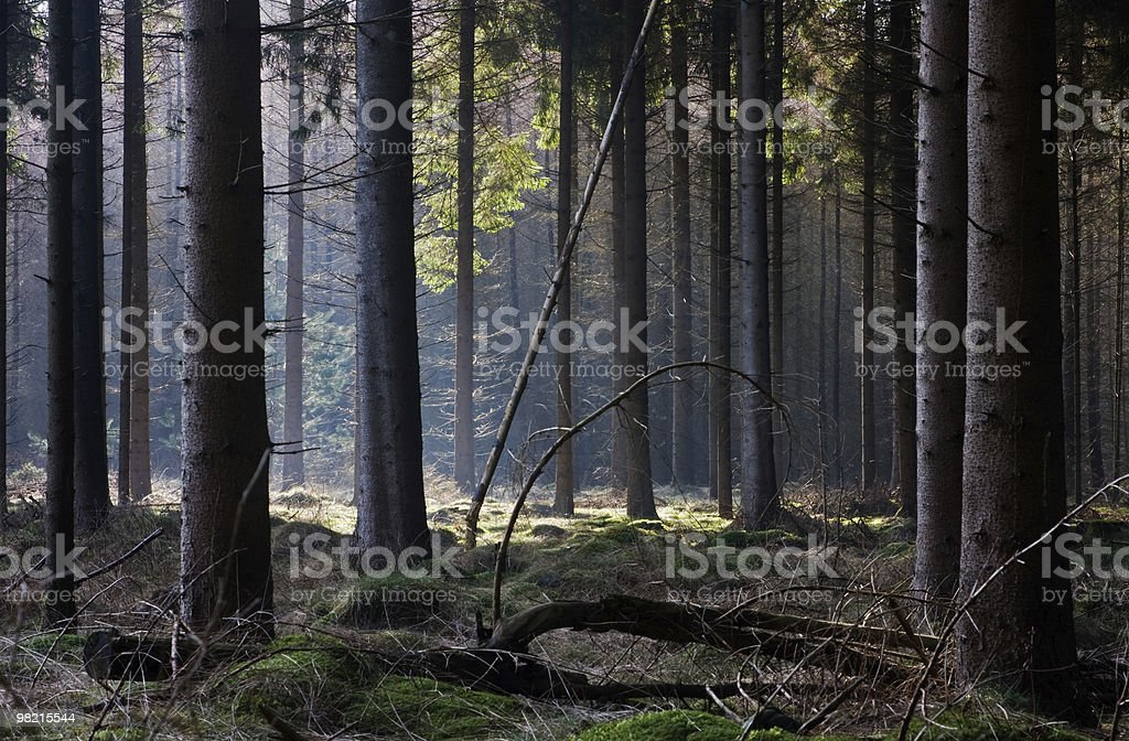 Golden mattina luce in una foresta foto stock royalty-free