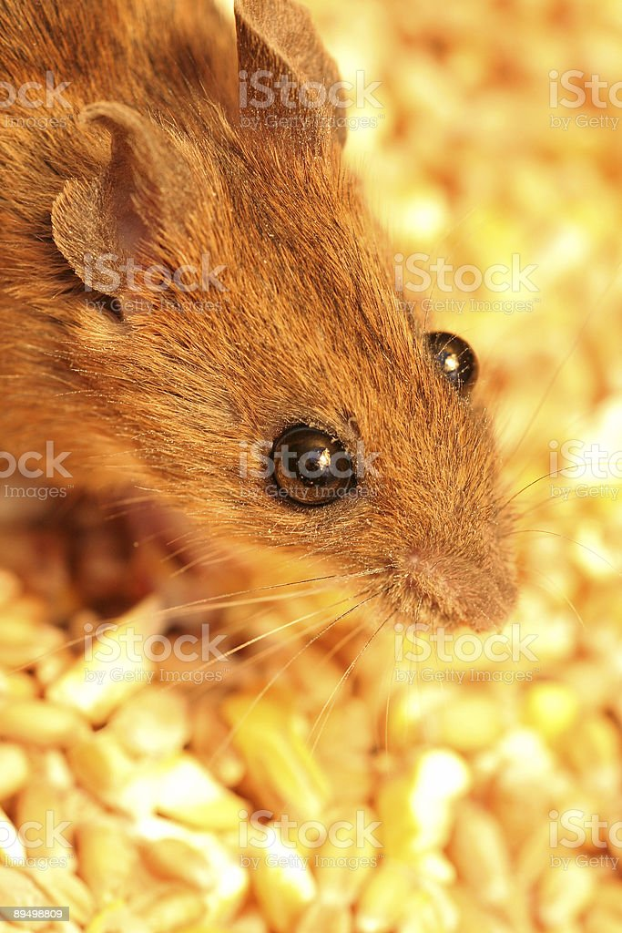 Golden mouse foto stock royalty-free