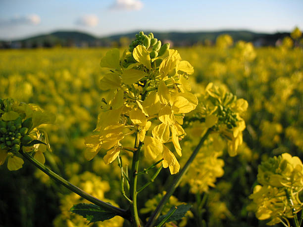 golden mustard - ccsccs7 stock pictures, royalty-free photos & images