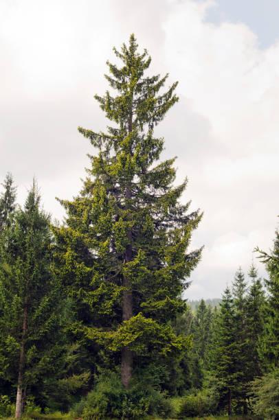 Goldene Fichte (Picea Abies) – Foto